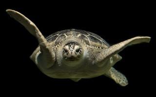 Как правильно использовать такой талисман как черепаха
