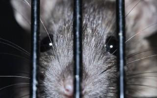 Использование магических заговоров для борьбы с крысами и мышами