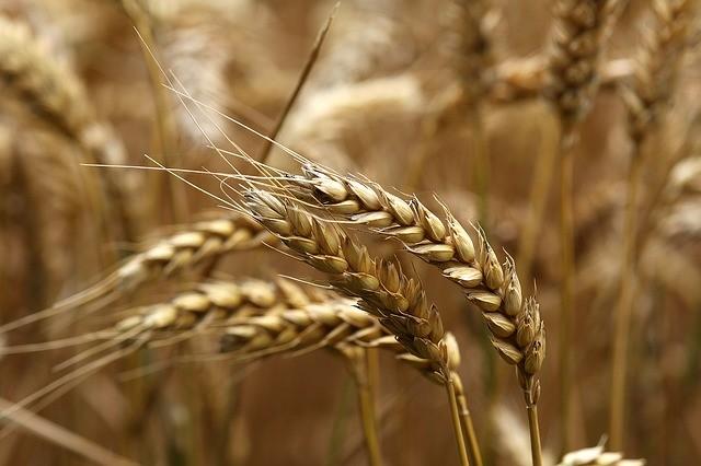 Заговор на зернах пшеницы